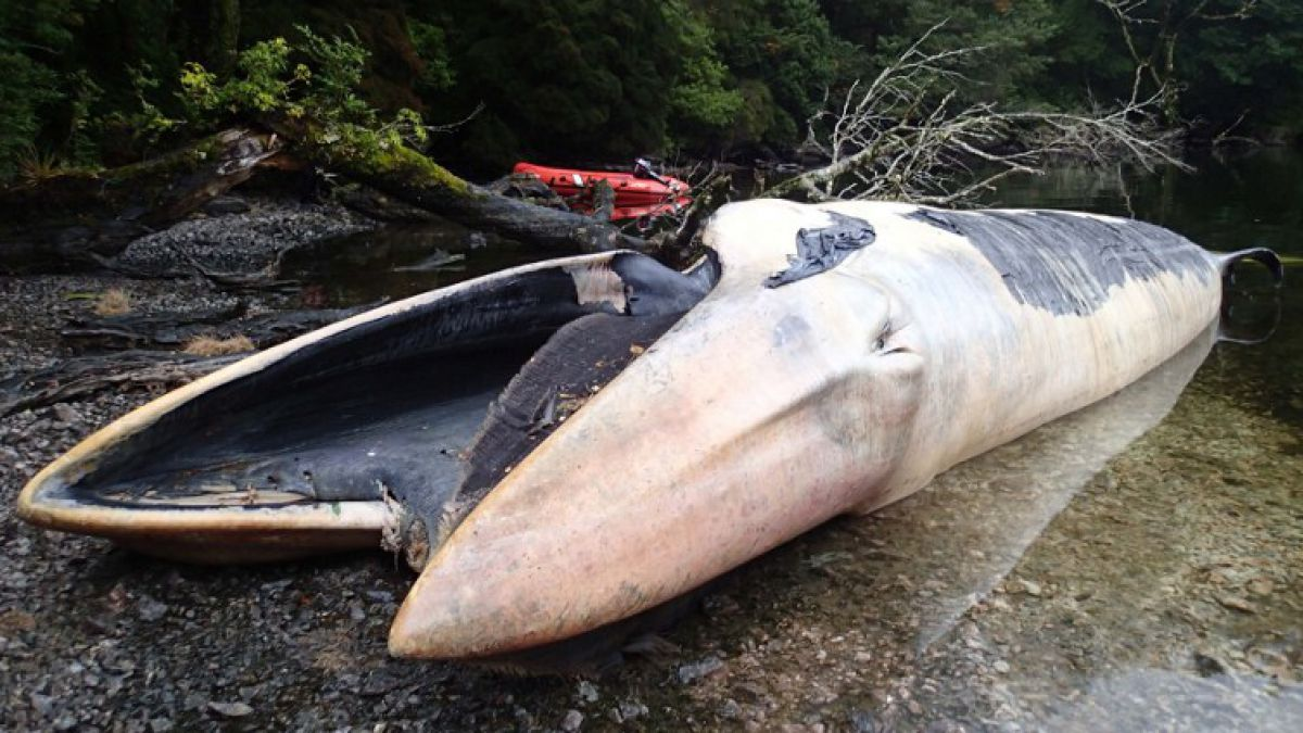 Hallan más de 330 ballenas muertas en la Patagonia chilena