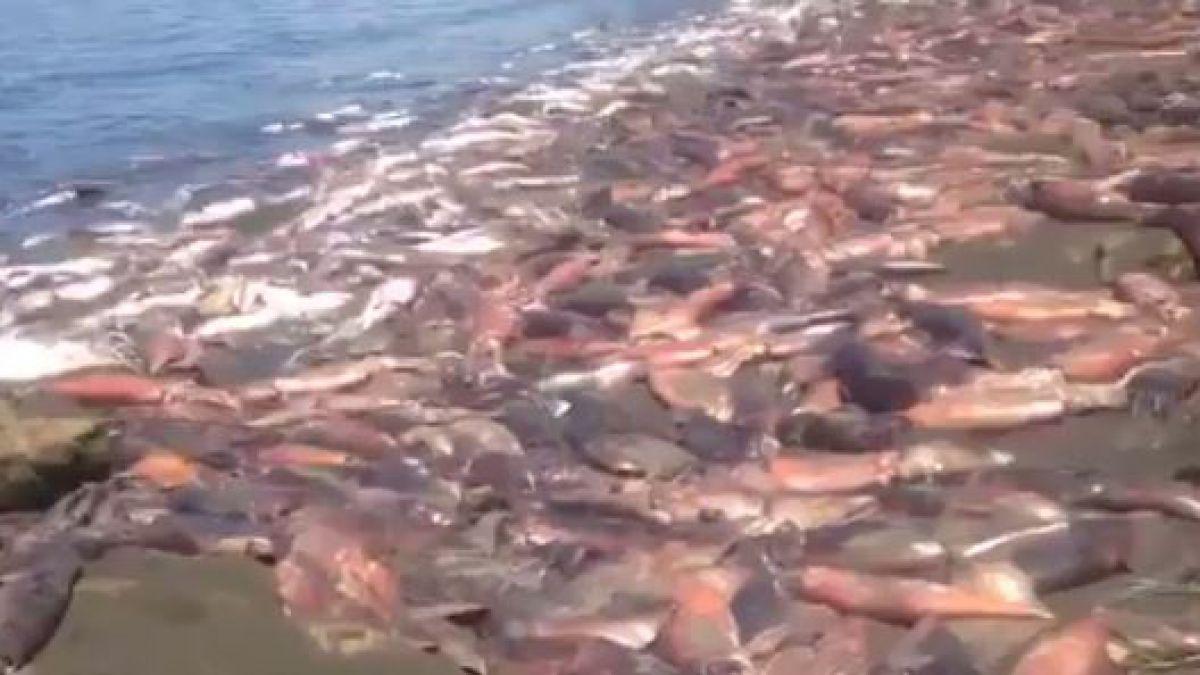 Denuncian masivo varamiento de jibias en isla Santa María de Coronel