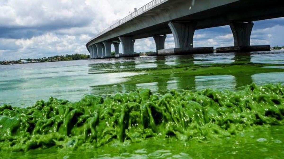 Resultado de imagen para algas toxicas