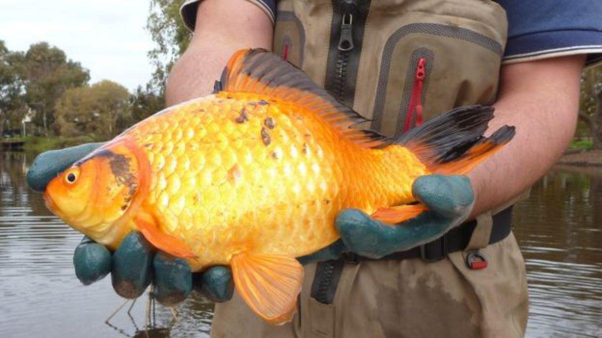 C mo los peces dorados terminan convirti ndose en for Peces que se cultivan en estanques en panama