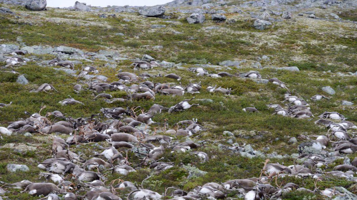 Rayo mató a más de 300 renos