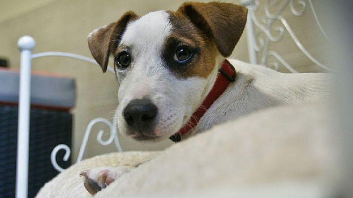 Los perros reconocen palabras concretas y la entonación, según expertos.