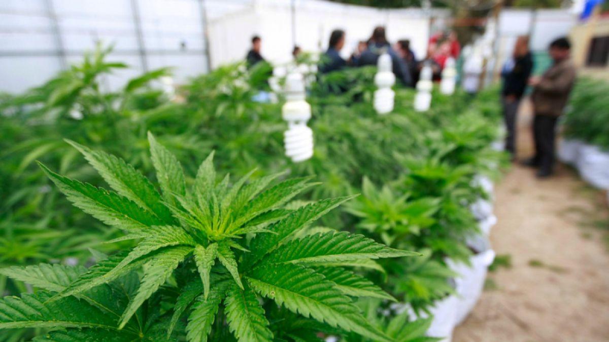 Cuál es la dosis de aceite medicinal de cannabis que se debe tomar