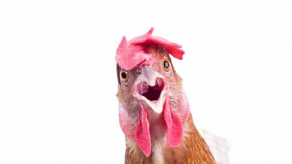Las gallinas, animales inteligentes y empáticos