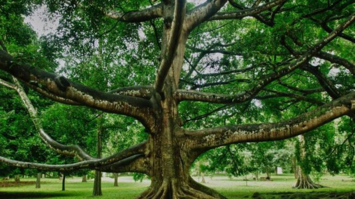 La historia del rbol que m s ha influido en la historia for Arboles para jardin que den sombra
