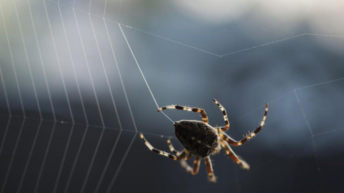 Las arañas comen más carne que los humanos