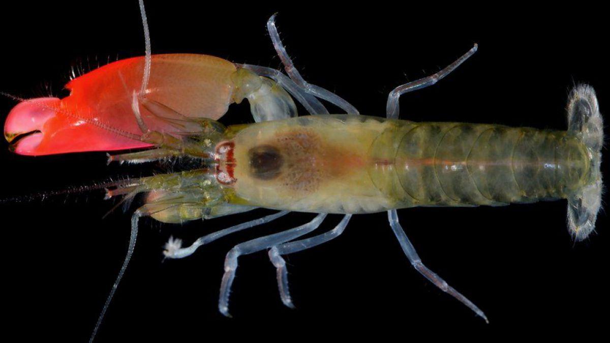 Bautizan a camarón descubierto en Panamá en honor a Pink Floyd