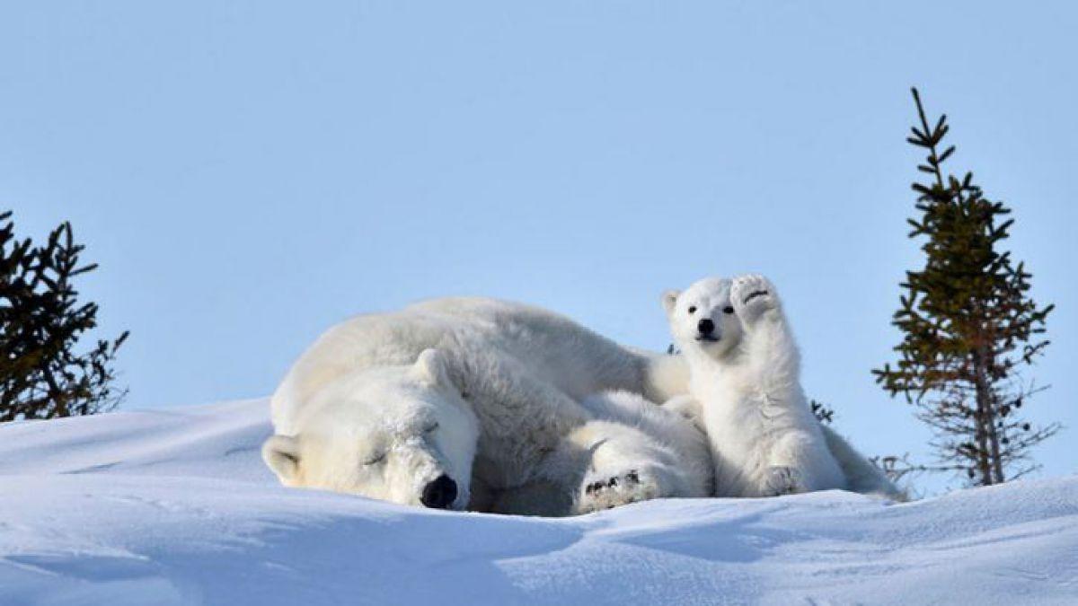 Imagenes De Osos Polares: La Foto De Un Oso Polar Que Genera Un Nuevo Desafío En