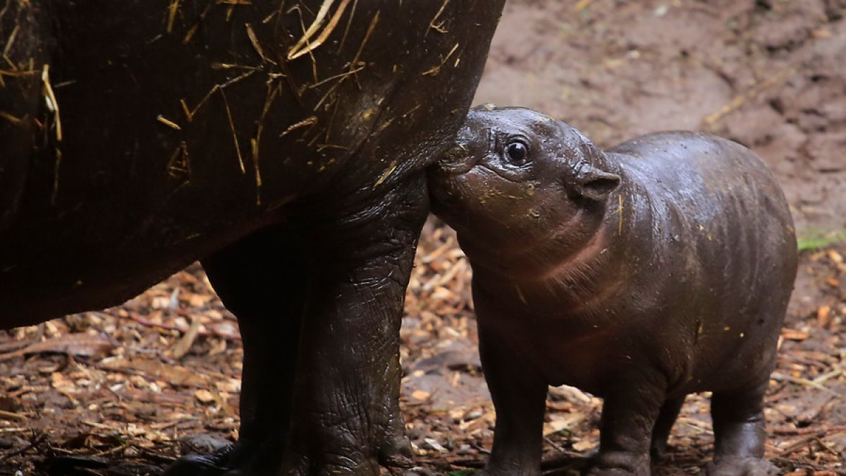 Buin Zoo presenta por tercera vez una cría de hipopótamo pigmeo