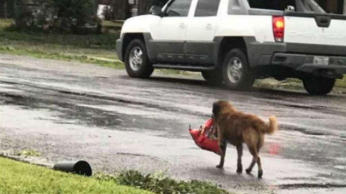 Tras paso de Harvey, perro se lleva bolsa de comida — Viral