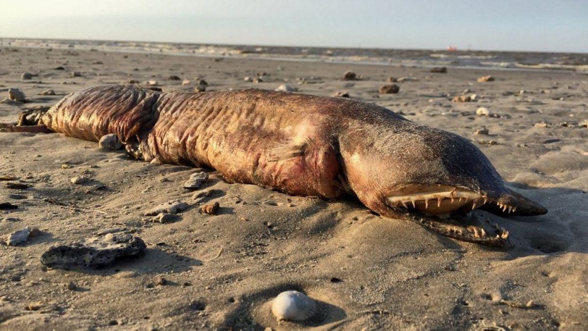 La criatura de dientes afilados que encontraron en una playa de Texas tras el huracán Harvey