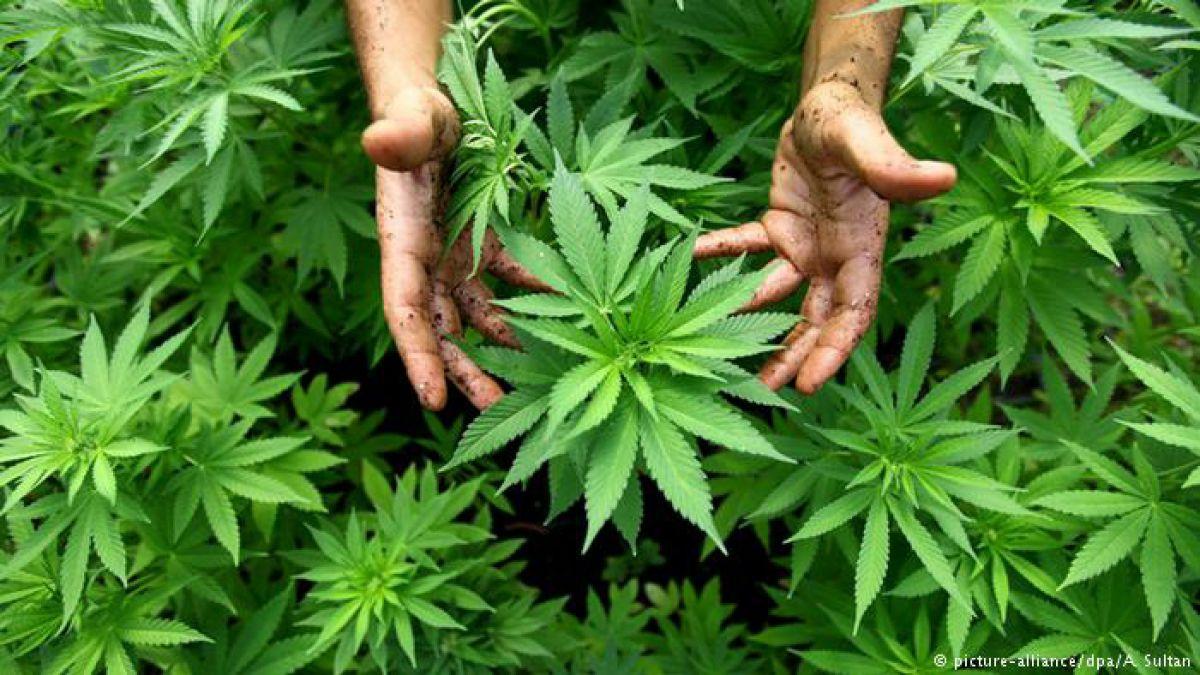 Alemania: llega el cultivo de marihuana medicinal