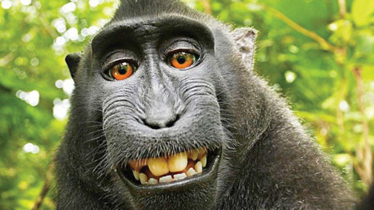 Nombran personalidad del año al mono que se tomó una selfie