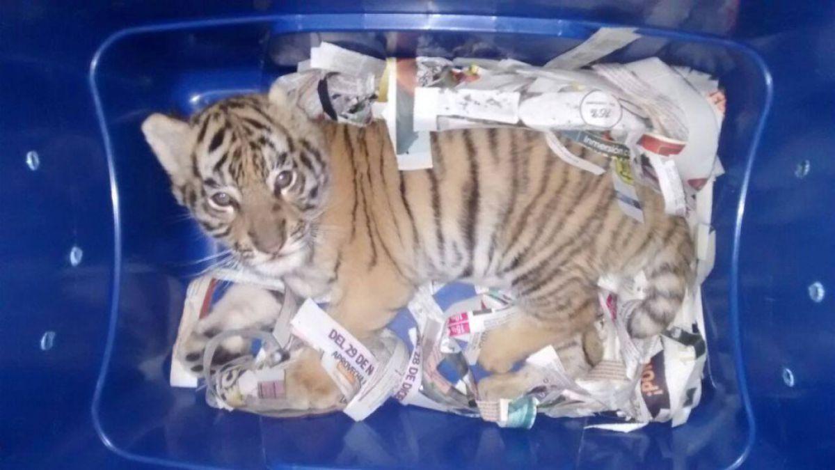 Un tigre fue enviado por correo en México