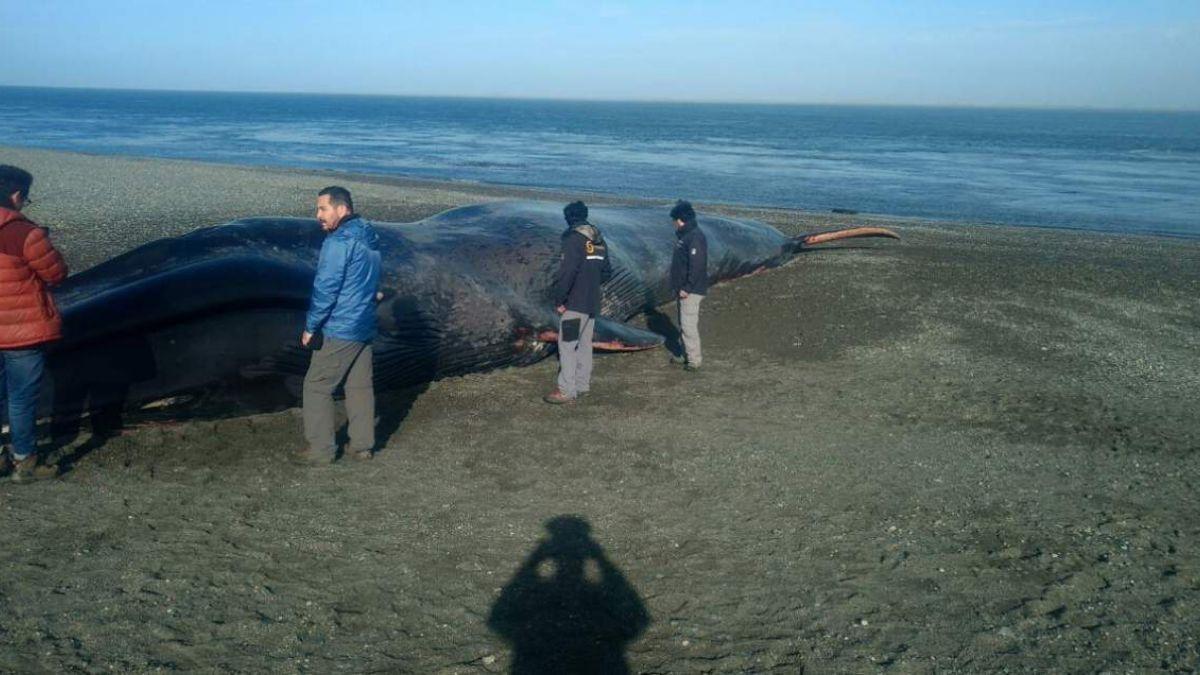 Tuiteros furiosos luego que rayaran ballena azul que varó en Magallanes