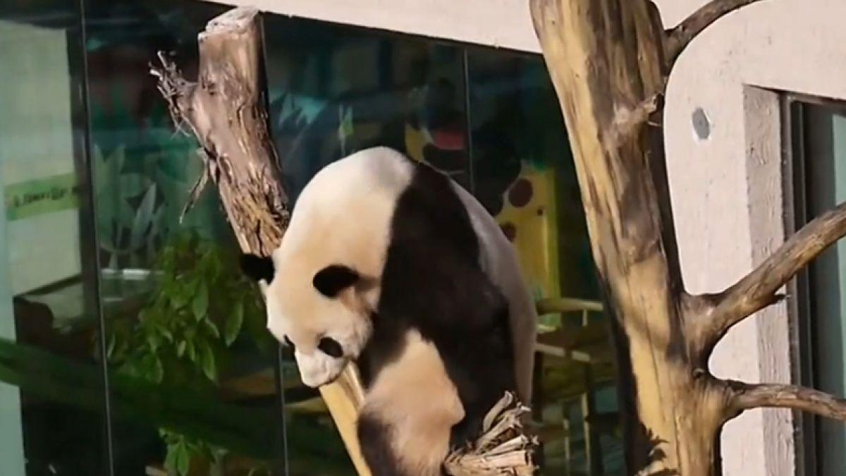 [VIDEO] El amor y odio de unos pandas gigantes por los columpios