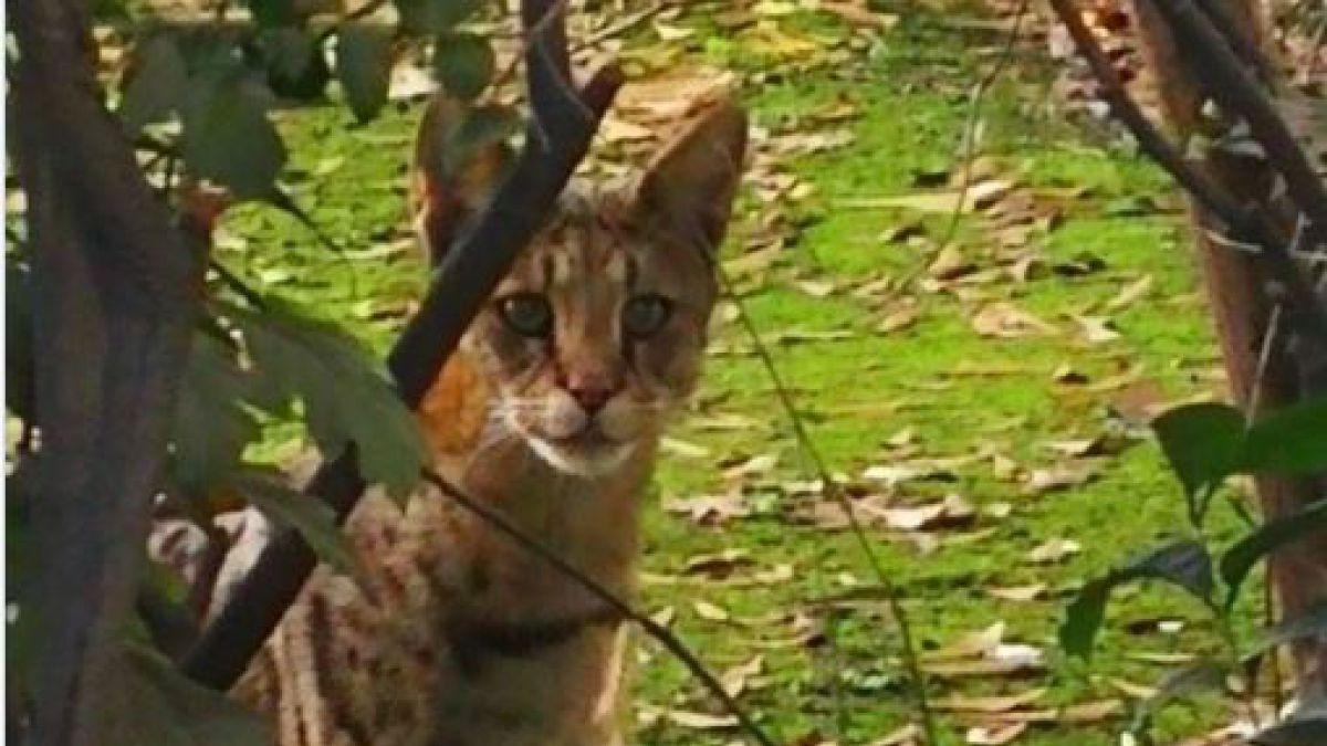 Cómo llegó una de estas especies a Las Condes — Gato africano
