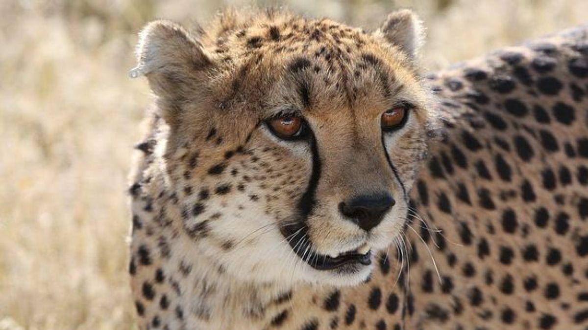 Resultado de imagen para guepardo