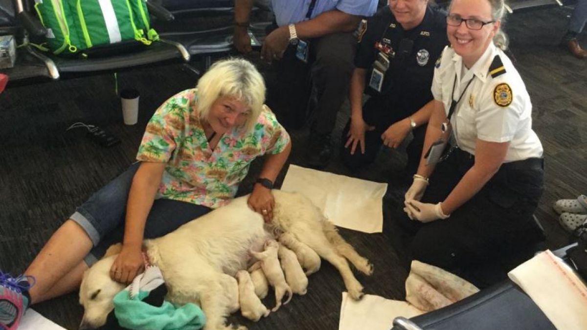 [VIDEO] Ellie: la perrita que dio a luz a ocho cachorros en un aeropuerto de Estados Unidos