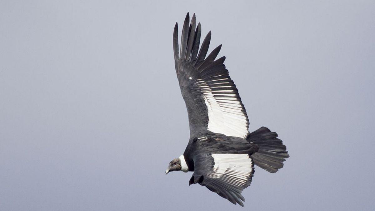 ¿Por qué el cóndor hace su nido en Chile, pero se alimenta en Argentina?
