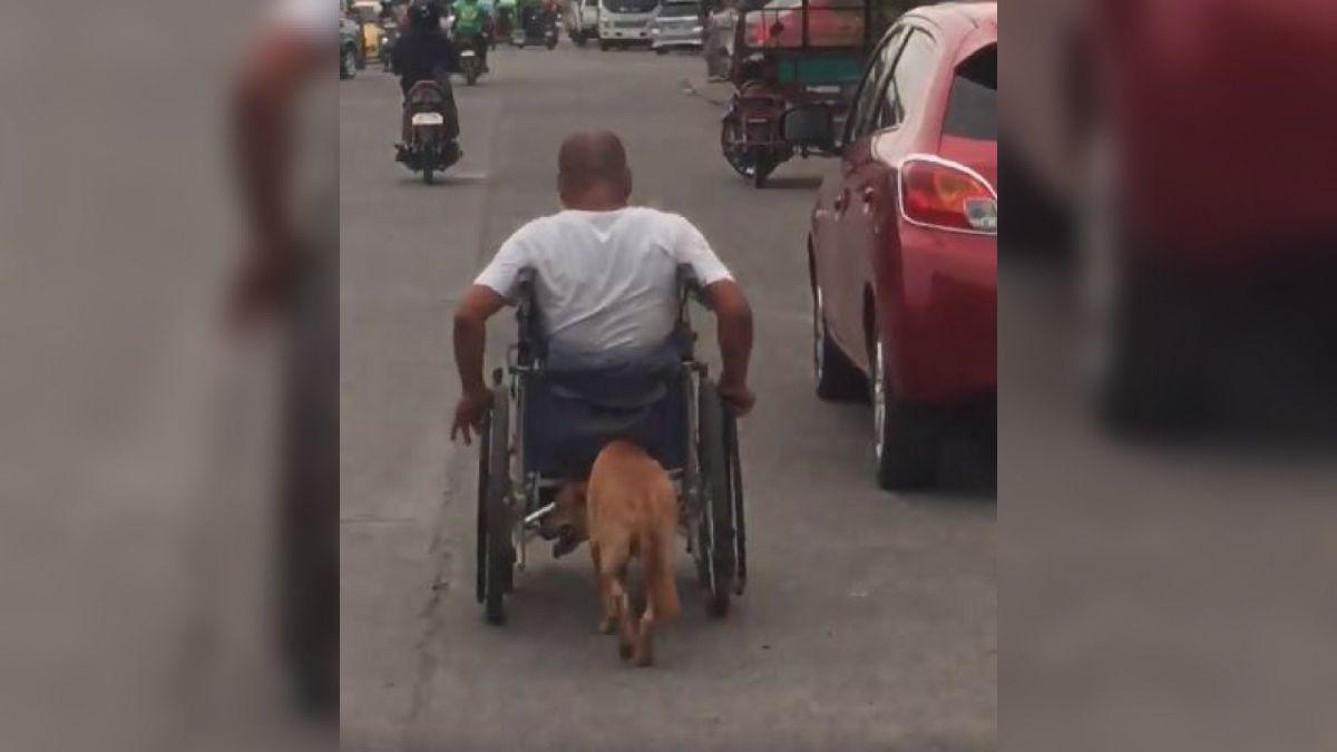 Graban a perrito que ayuda a empujar silla de ruedas de su amo