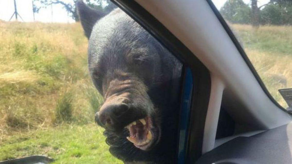 [FOTOS] Inglaterra: Oso ataca a familia que viajaba en auto