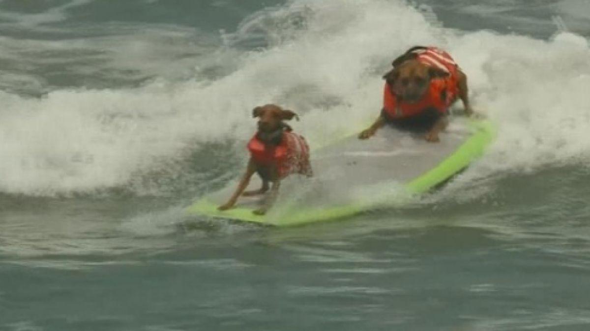 Perros surfistas se lucieron en llamativa competencia en California