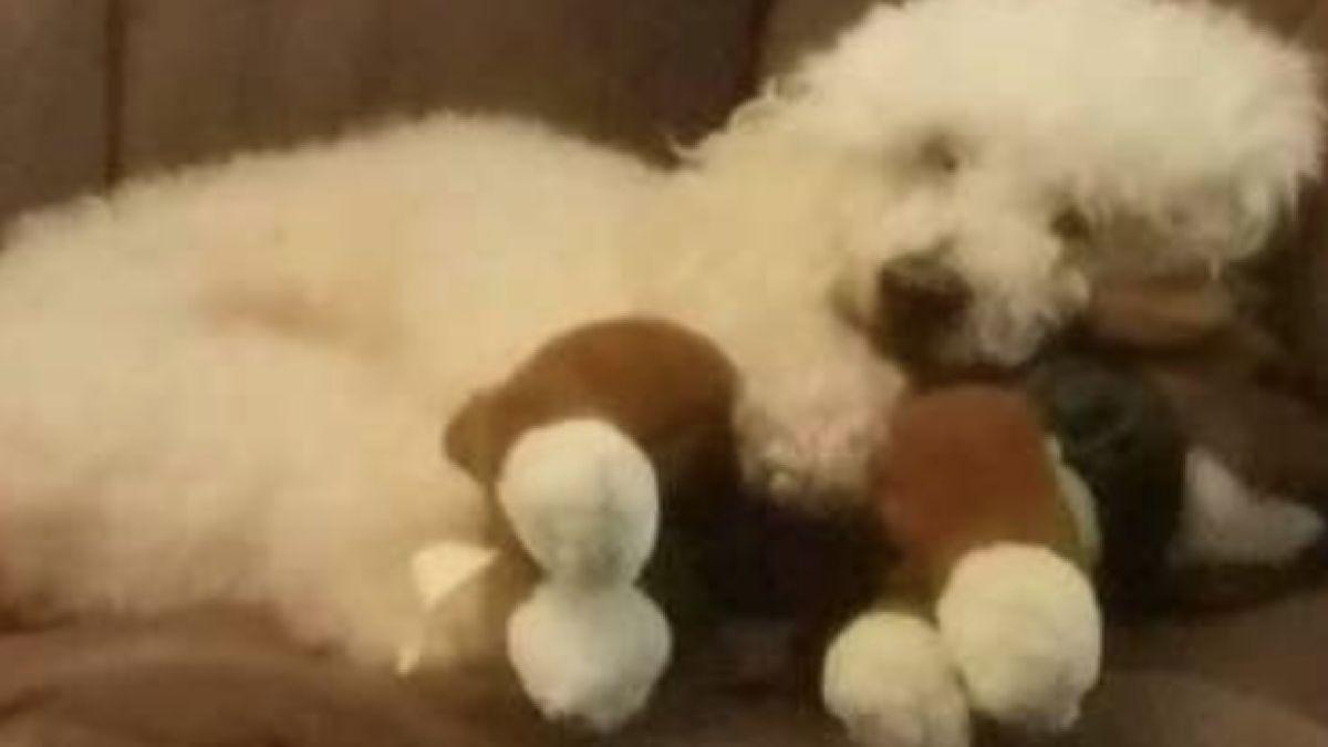 [FOTOS] Perrito perdió a su hermana y la recuerda abrazando al peluche favorito de ella