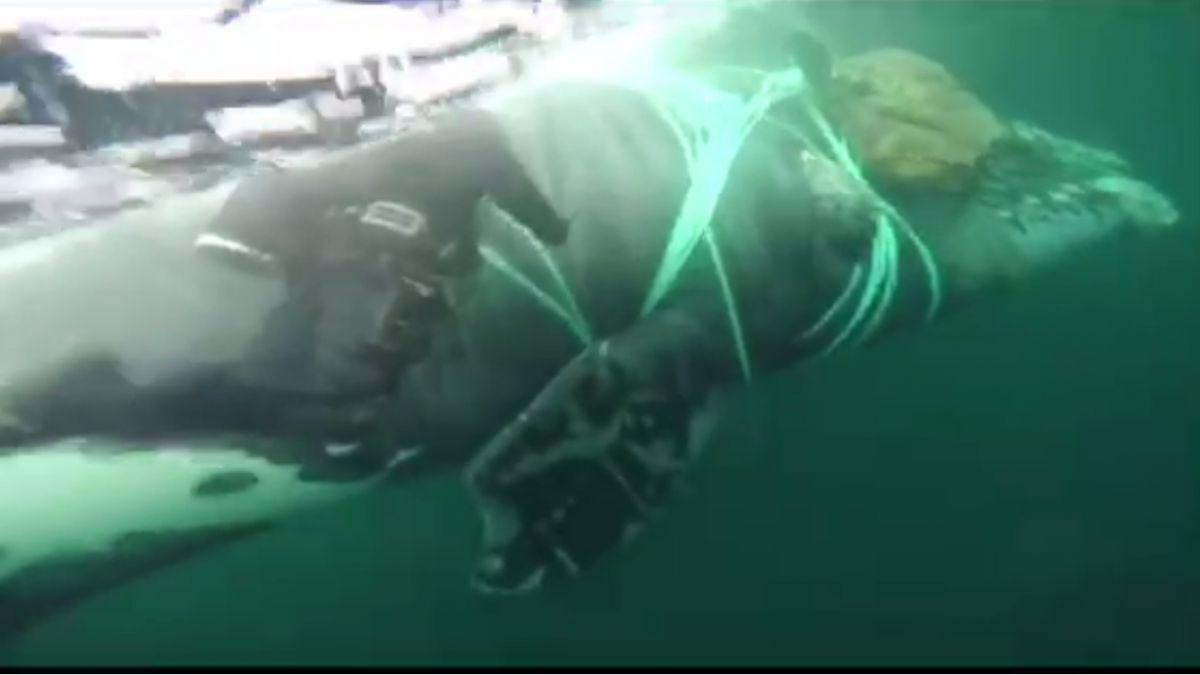 Armada rescató ballena atrapada en redes de pesca en Cabo de Hornos
