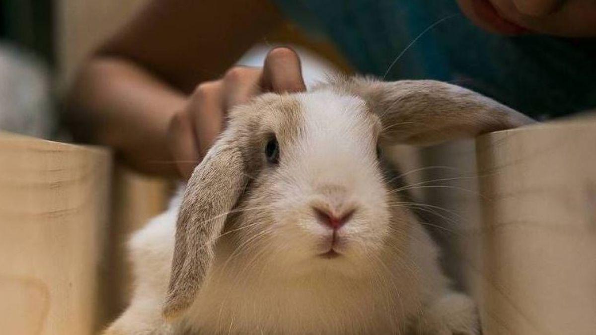 [VIDEO] #MascotasT13: Mitos y cuidados de los conejos