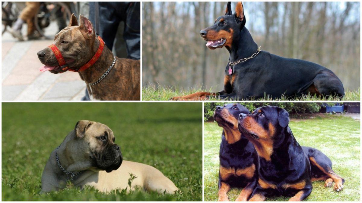 Las Razas De Perros Consideradas Potencialmente Peligrosas Tele 13