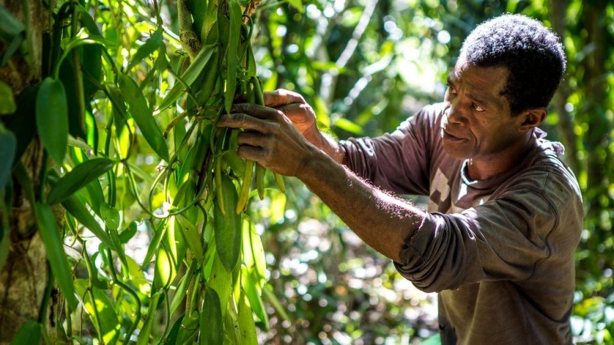 Vainilla de Madagascar: el codiciado sabor que desencadenó una espiral de violencia en el país