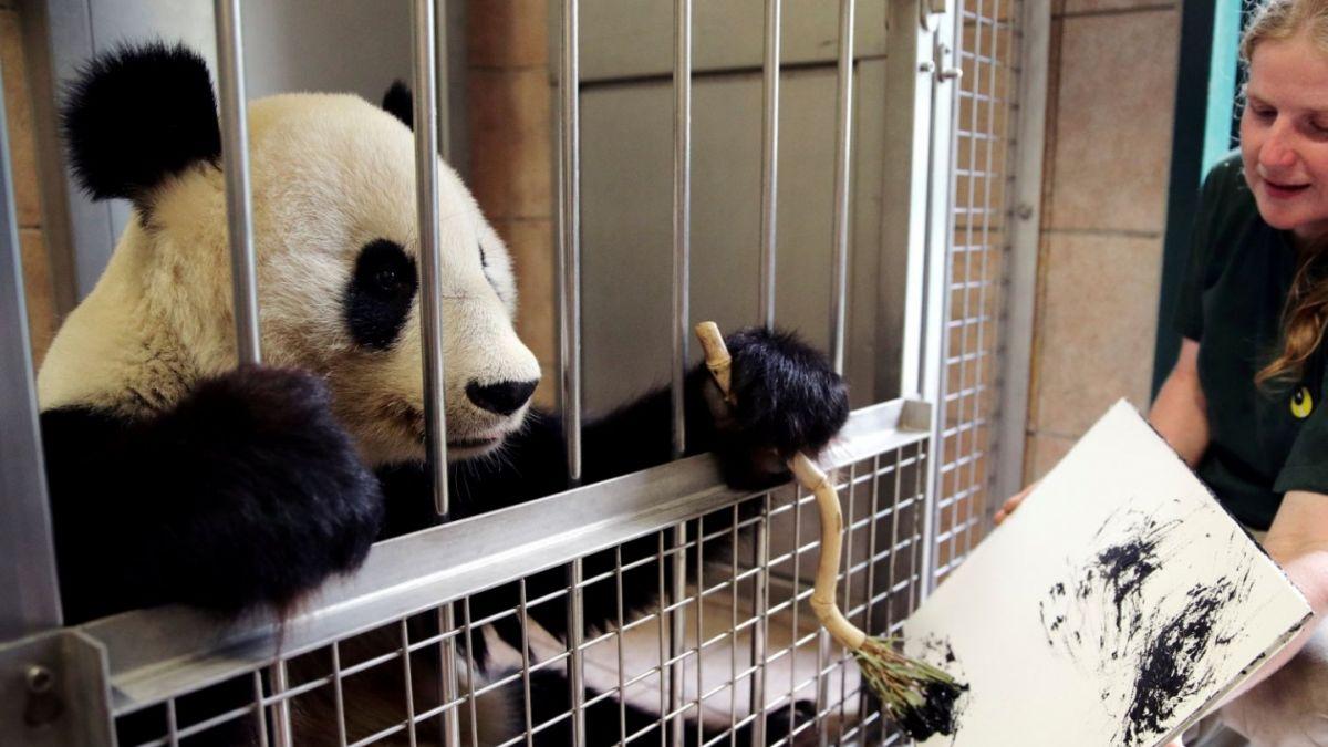 [VIDEO] Osa panda pinta obras que se venden por casi 500 euros