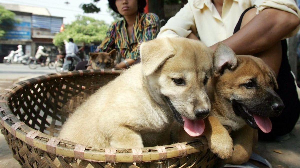 Por qué la capital de Vietnam les pide a sus habitantes que dejen de comer carne de perro