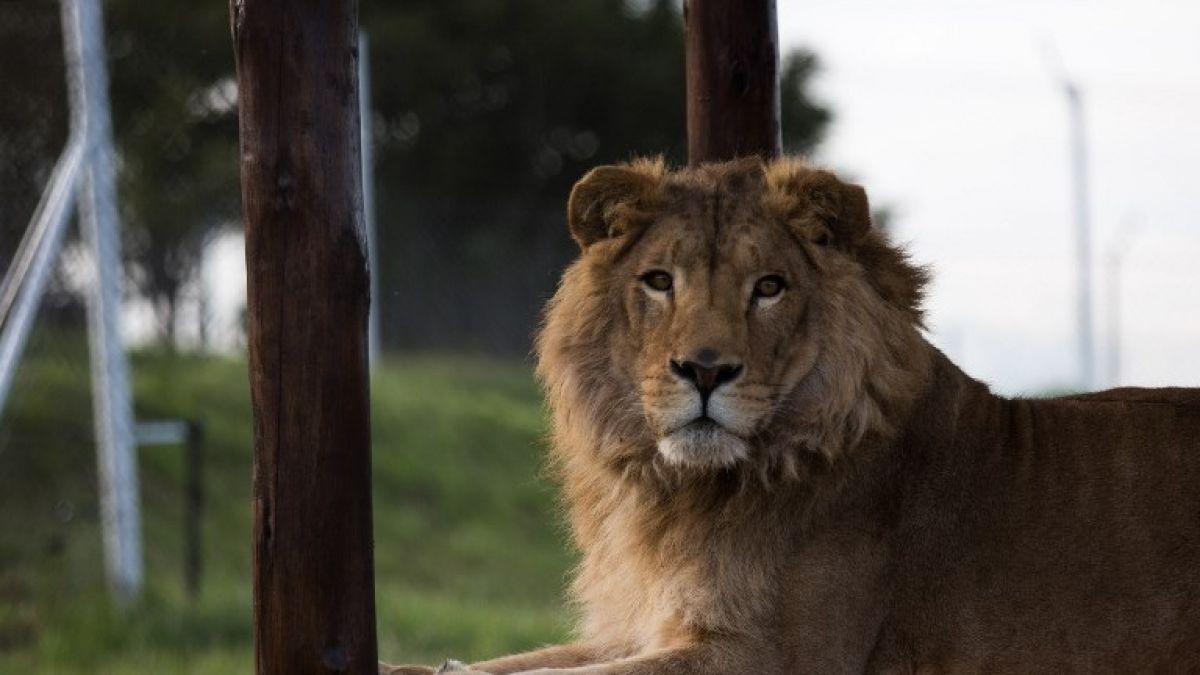 España: Fundación denuncia a pareja por usar a león para fotos eróticas