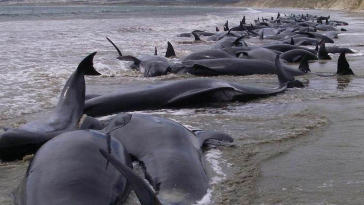 Resultado de imagen para 145 ballenas piloto murieron en un varamiento masivo en una playa remota de Nueva Zelanda