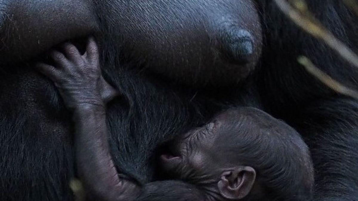 c9bf9cad45de Nace un adorable bebé gorila de especie en peligro en extinción ...