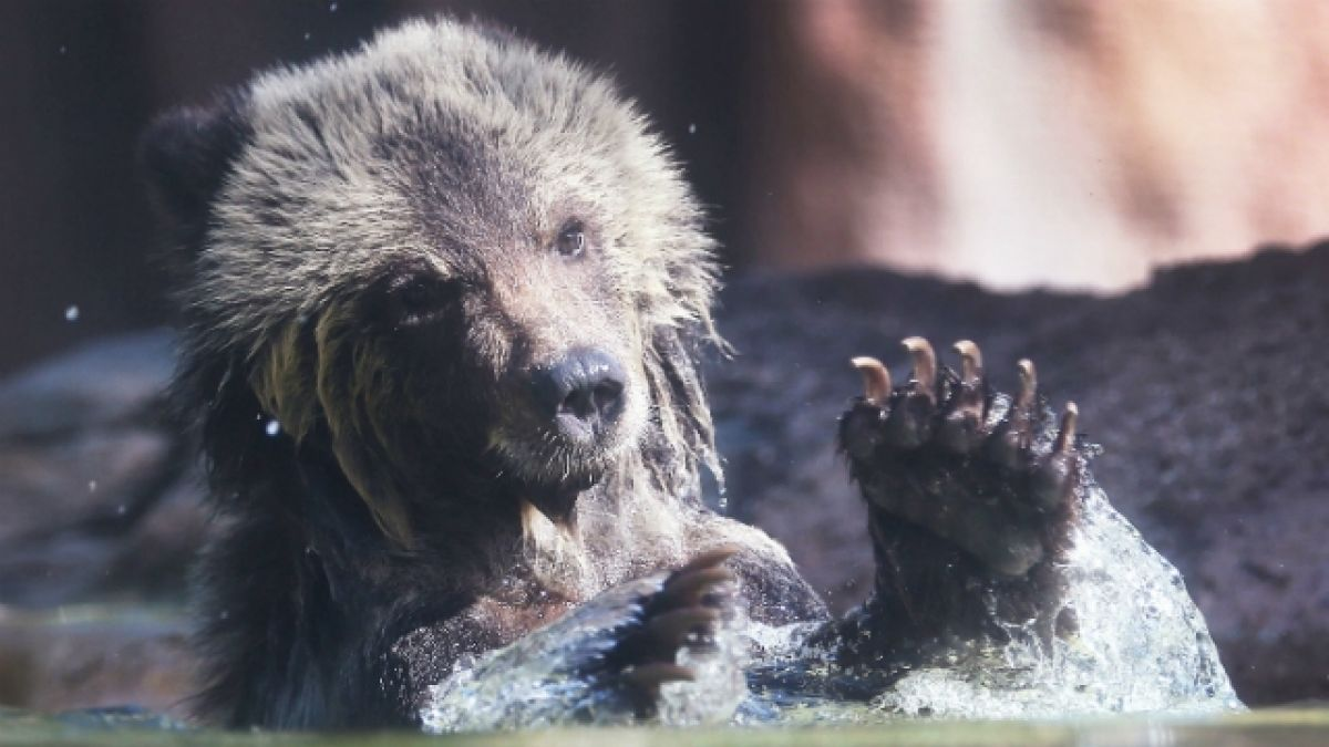 Una madre y su bebé mueren atacados por un oso grizzly