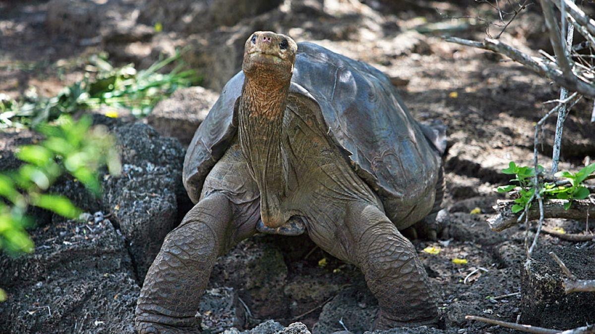 Solitario Jorge, la tortuga gigante de las Islas Galápagos, tendría la clave sobre la longevidad