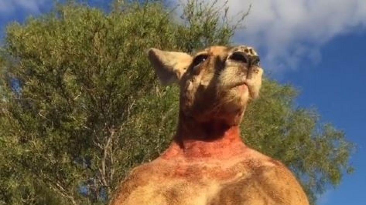 Murió Roger, el canguro que se hizo famoso por su fornido y musculoso cuerpo