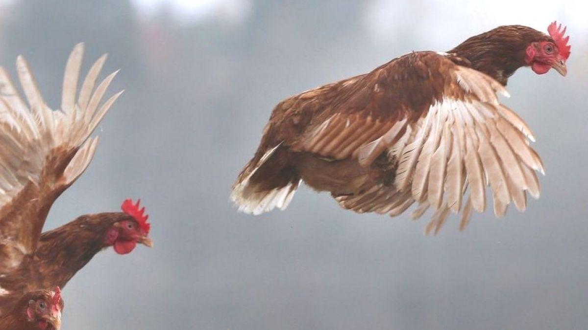 Por qué se dice que estamos viviendo en el planeta de los pollos