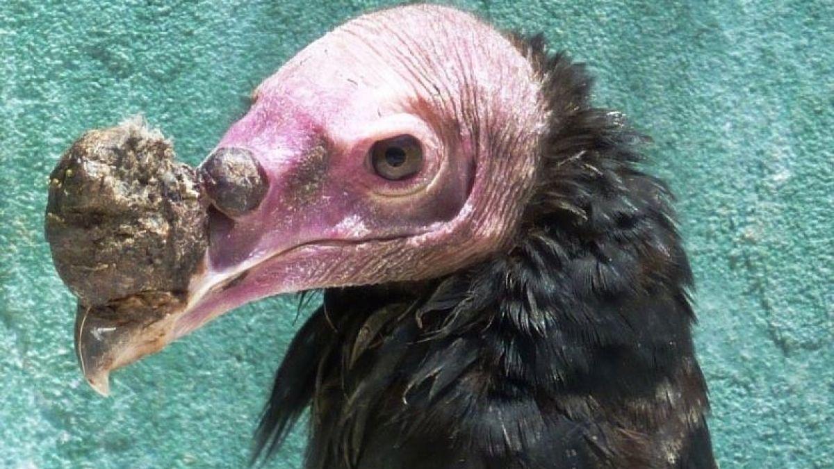 Descubren grave enfermedad en jote de cabeza colorada cuyo contagio podría ser fatal en cóndores