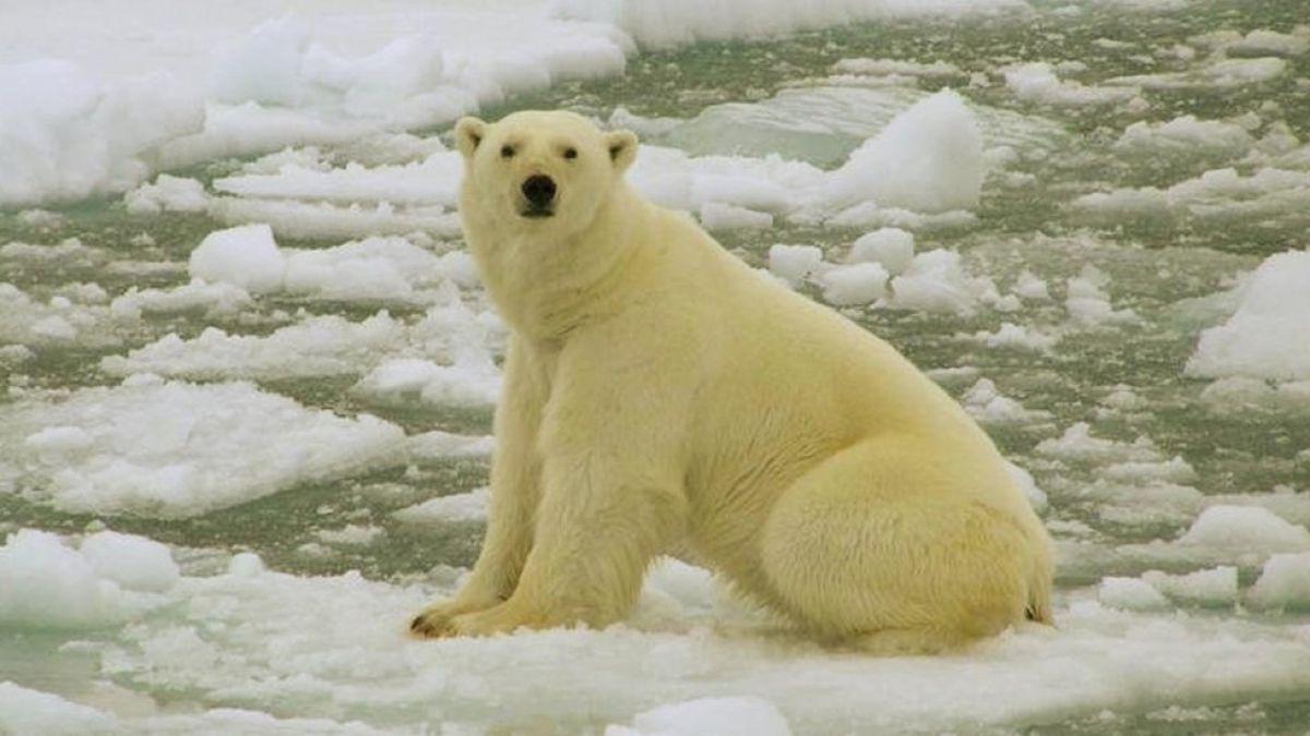 Estado de emergencia en unas islas de Rusia por una invasión de osos polares
