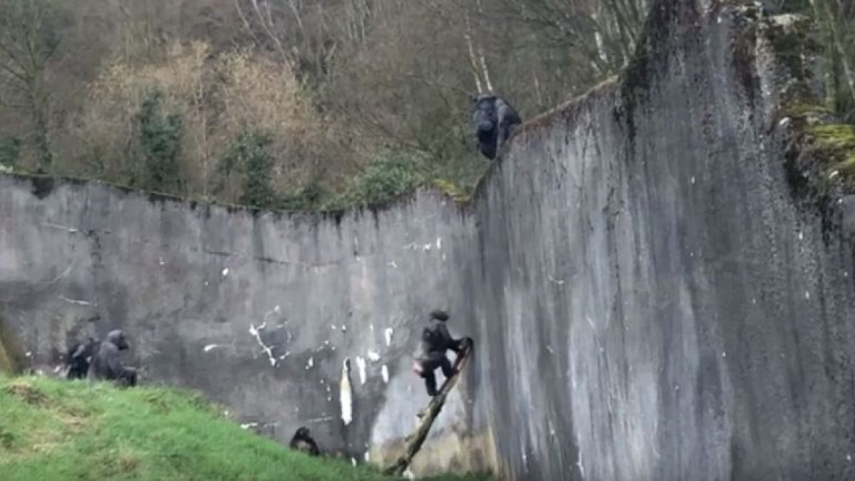 [VIDEO] Chimpancés escapan del zoológico utilizando la rama de un árbol