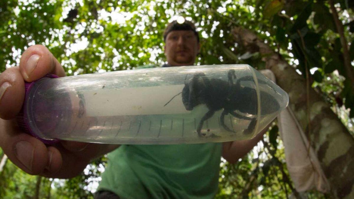Redescubren a la abeja más grande del mundo — FOTO] Es enorme