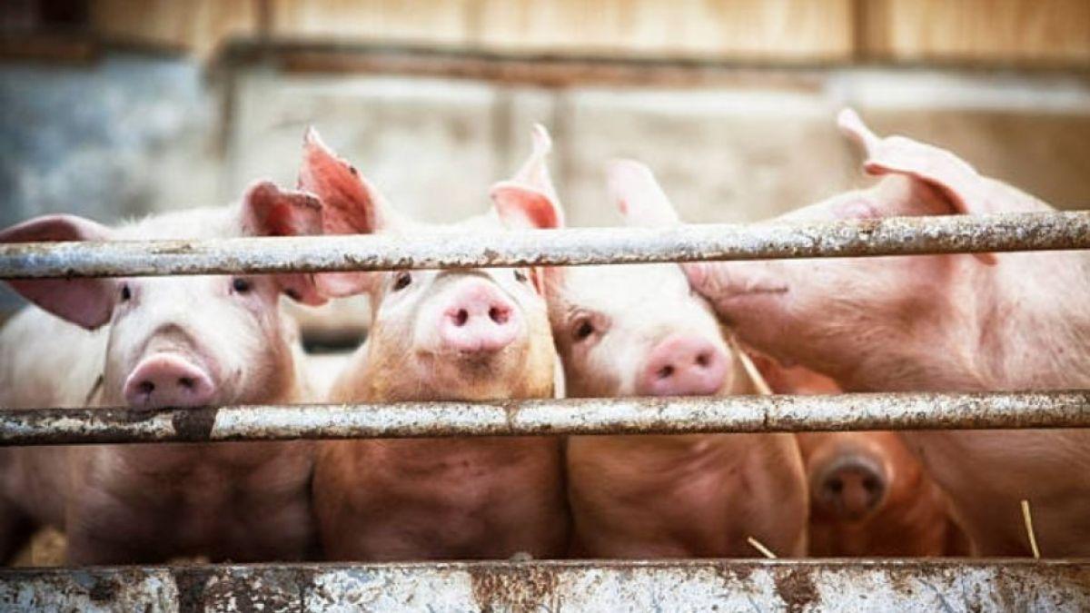 Joven comió cerdo mal cocinado, un parásito invadió su cerebro y murió