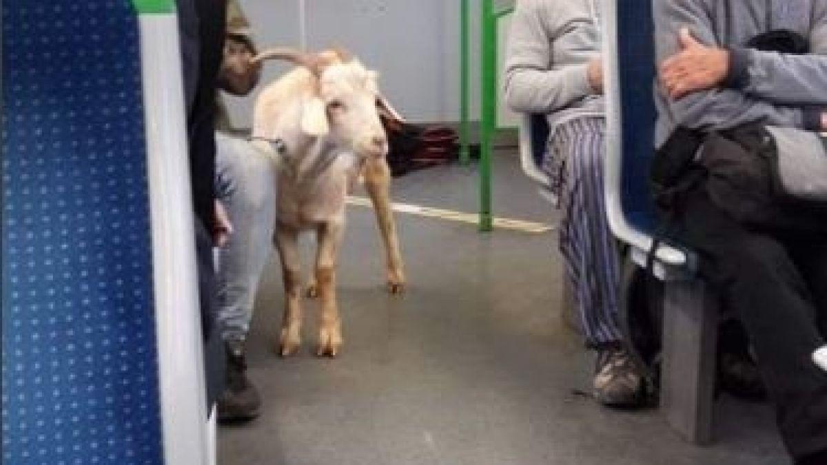 [FOTOS] Insólito: una cabra fue captada viajando al interior del Metro de Valparaíso