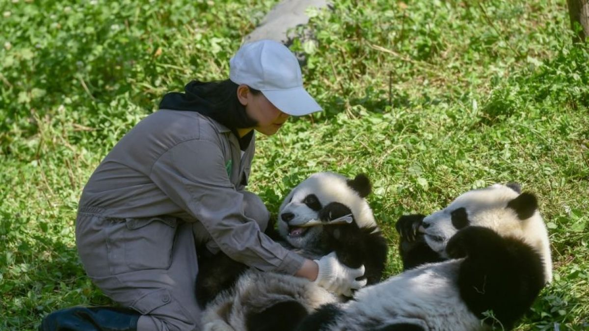El inédito método que promete lograr la supervivencia de los pandas