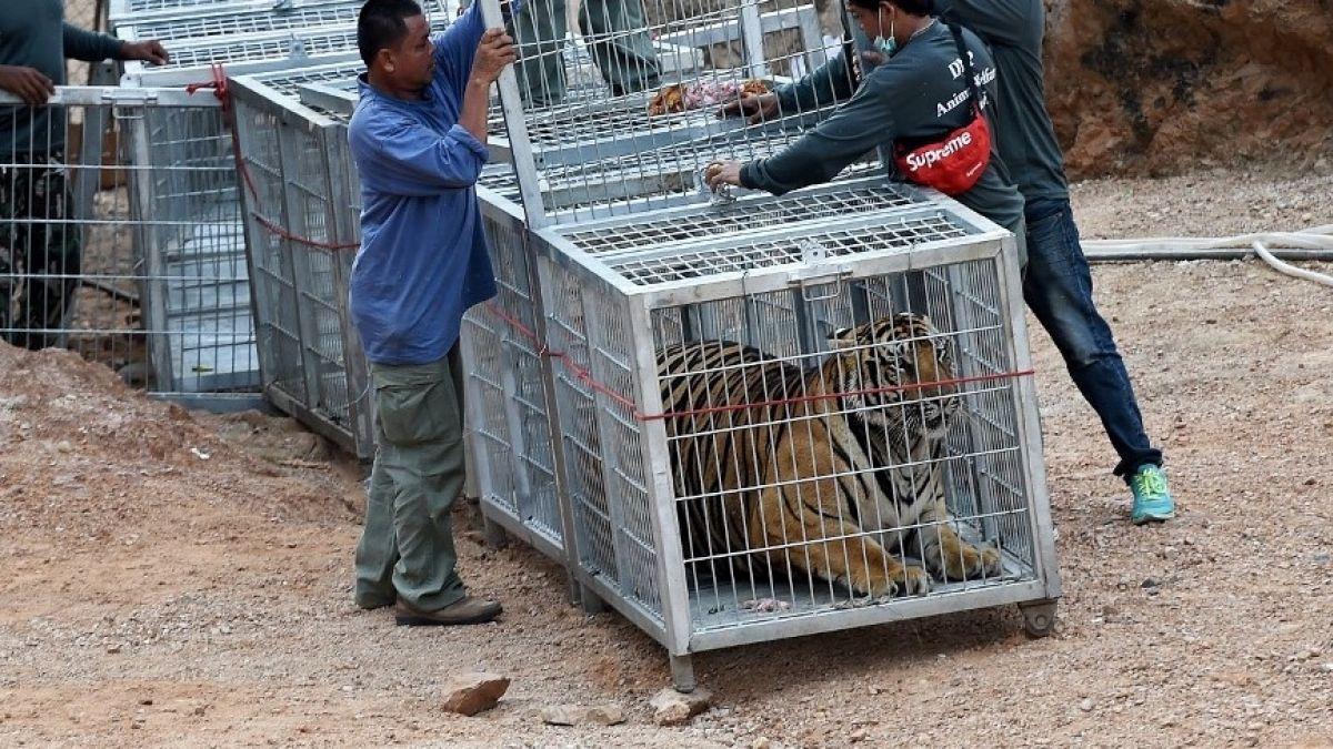 Resultado de imagen para mueren tigres en tailandia