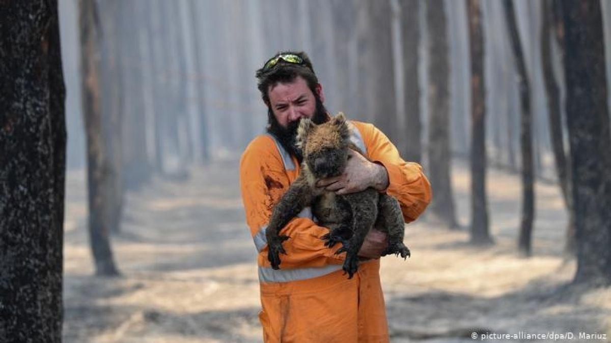 Abogan para que Nueva Zelanda albergue koalas australianos